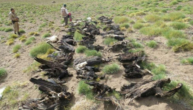 Misterio por la aparición de 34 cóndores muertos — Mendoza