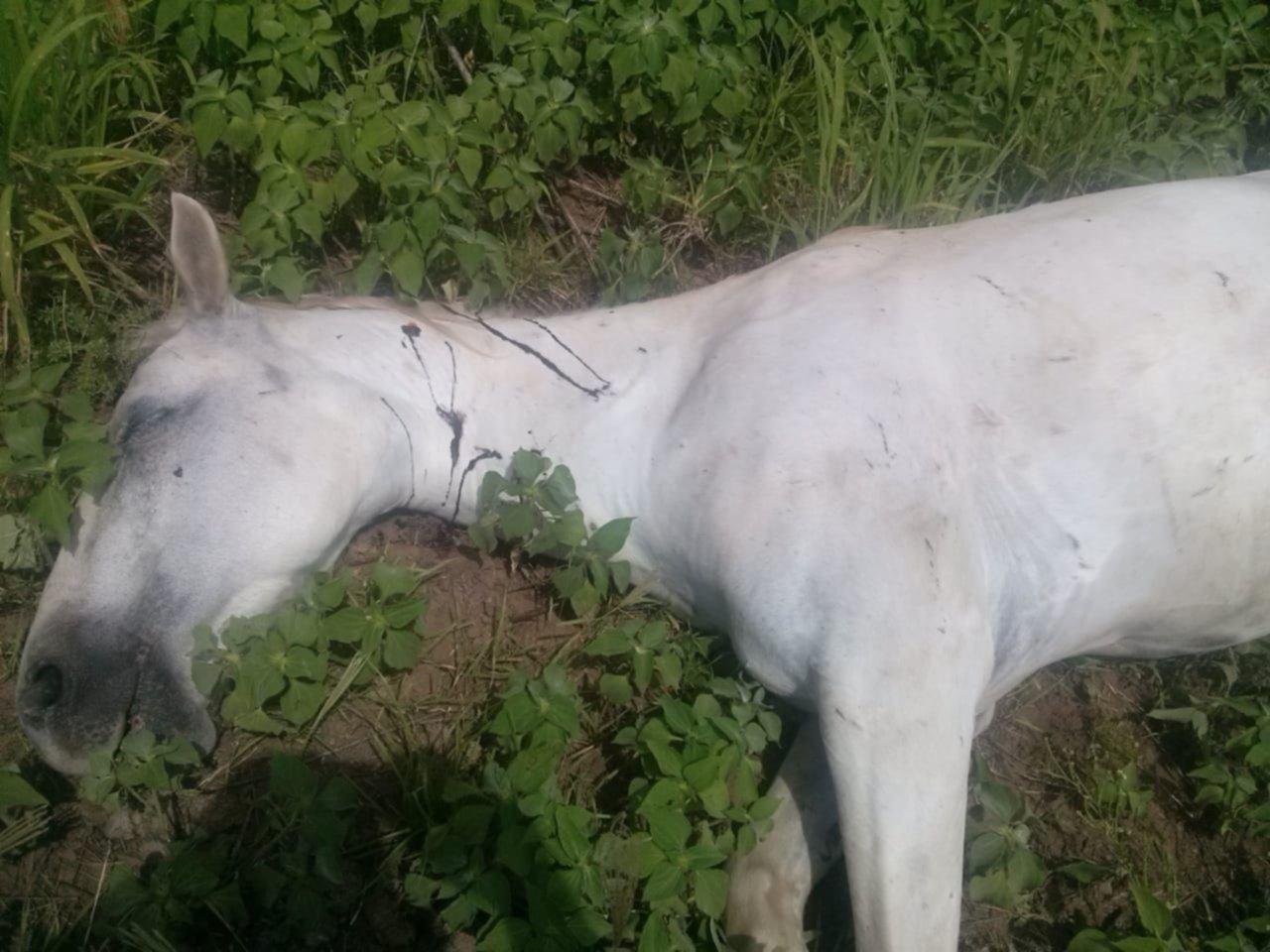 Indignación con un productor que baleó a tres caballos