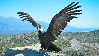 Con una emotiva ceremonia el cóndor Wak´a abrió sus alas hacia su libertad