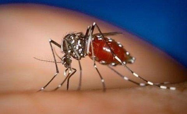 Mosquito tigre asiático: tiene cuatro veces el tamaño normal y transmite 22 tipos de virus