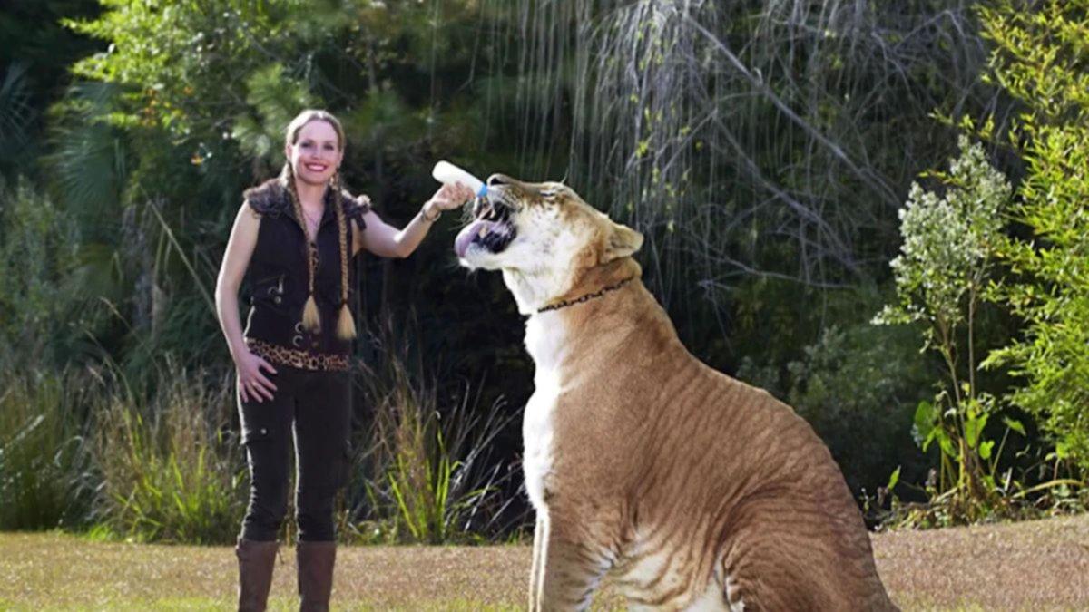 El híbrido entre león y tigresa que asombra por su tamaño