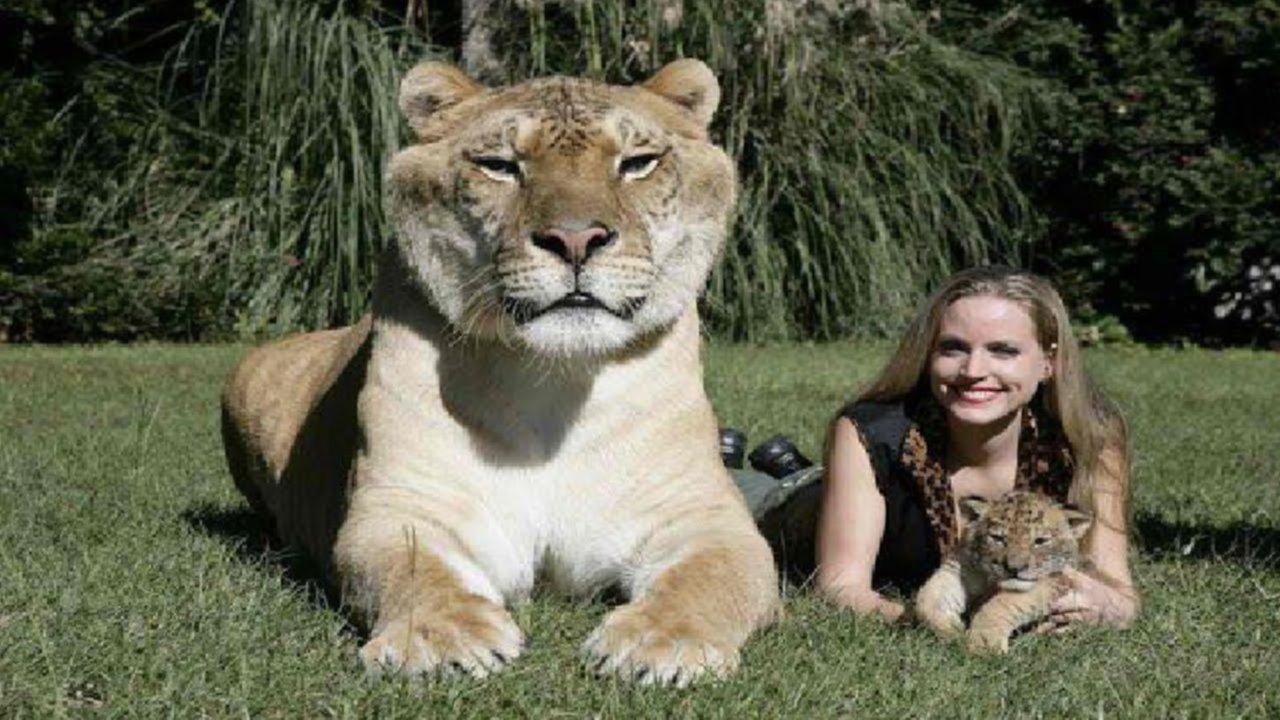 Un híbrido es el felino más grande el mundo