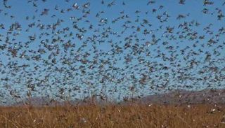 Preocupa el alerta por la llegada de una plaga de langostas