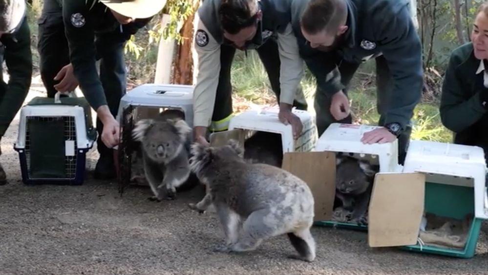 3.000 millones de animales muertos o desplazados en los incendios de Australia