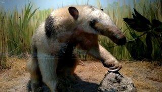Museo de Ciencias Naturales: pumas, yaguaretés y osos hormigueros en todos sus detalles