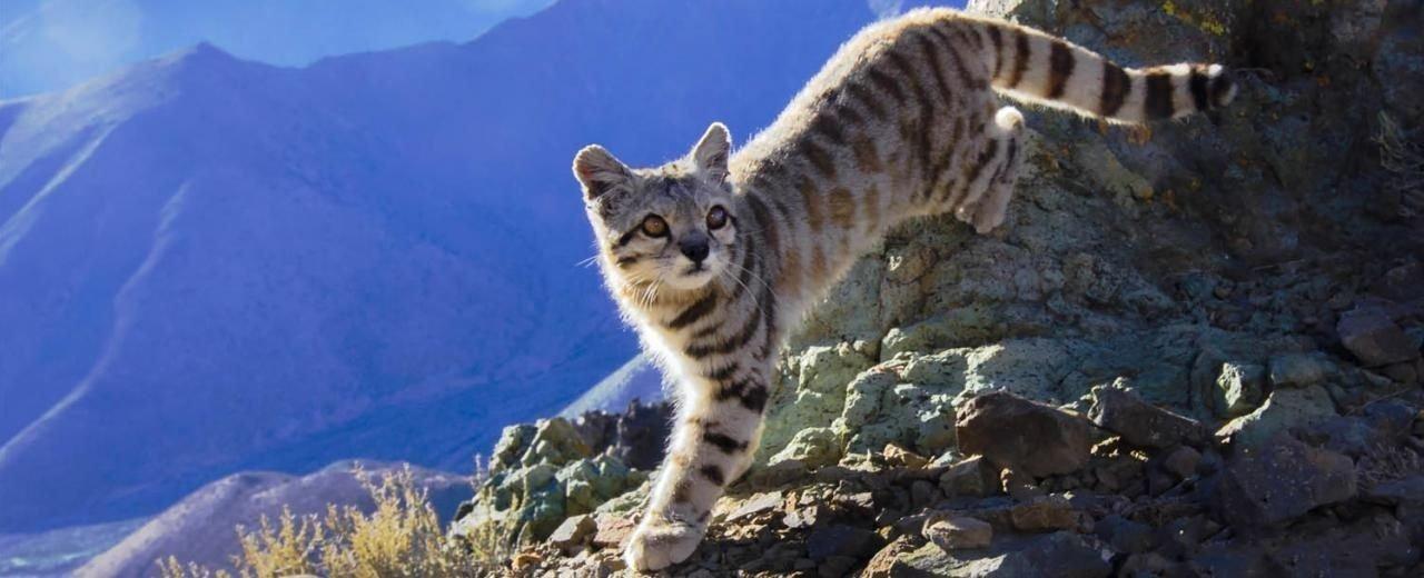 Tras las huellas del gato sagrado de los Andes