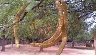 Algarrobo: el árbol de la salvación