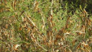 Una manga de langostas se detectó en campos de Anta
