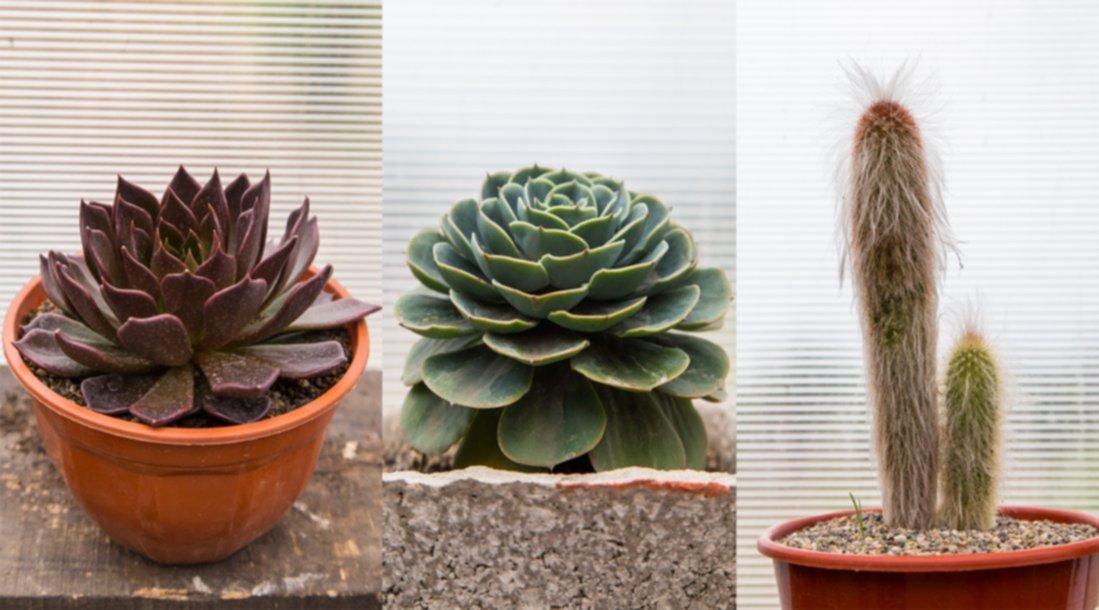 Crasas y cactus un toque r stico en mil tonos de verde for Cactus cuidados exterior