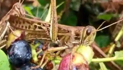 La plaga de langostas afectará por años los campos del sur