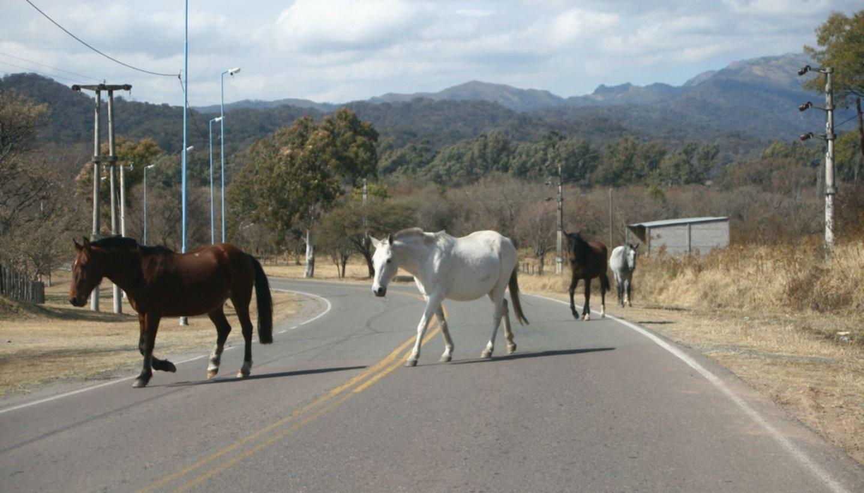Alerta por animales sueltos en la ruta 16