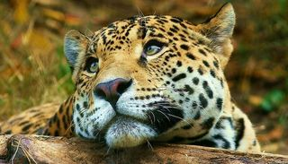 Afirman que solo quedan 250 ejemplares de yaguareté en el país