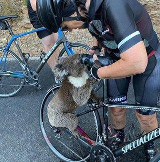 Video: un koala con sed paró a una ciclista para que le diera agua